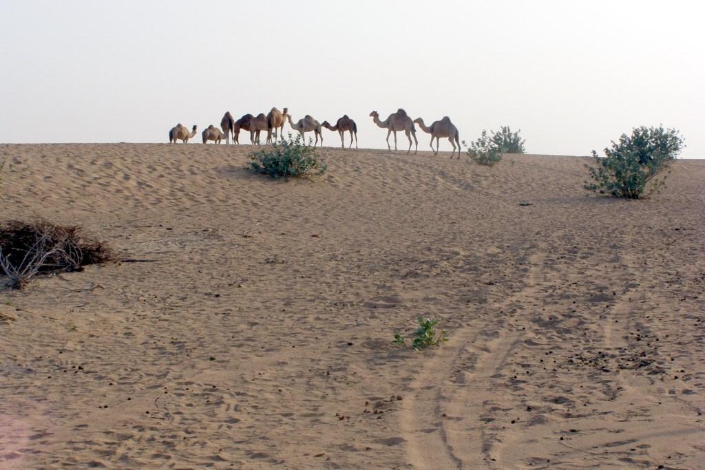 Верблюди в пустелі